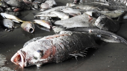 Council set up to identify cause of mass fish deaths