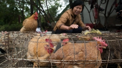Vietnam carries out steps to prevent A/H7N9 avian flu