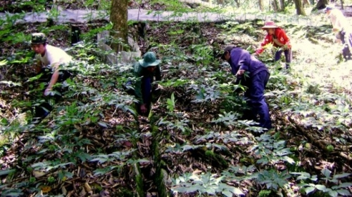 US$221 million Ngoc Linh ginseng project launched