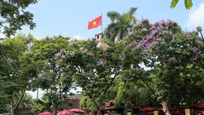 Hanoi turns purple with giant crape-myrtle flowers