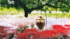 Red carpets of freshwater mangrove flowers
