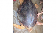 Quang Tri: Turtle at risk of extinction released into the wild