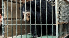 Hanoi tightens bear farm monitoring with chipping programme