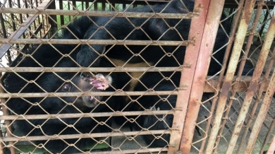 Dong Nai: Local voluntarily hands over 200 kg bear