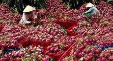 Over 1,500 tonnes of dragon fruits shipped to China via Lao Cai border gate
