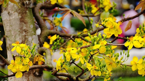 Yen Tu yellow ochna flower - precious tree of a sacred land