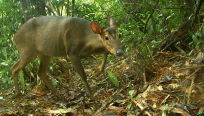 First recorded images of large-antlered muntjac in Quang Nam