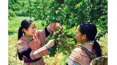 Beauty of Bac Ha in plum harvesting season