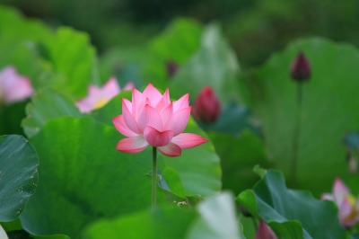 Lotus flowers in full bloom in Hanoi