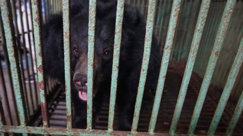 Thai Nguyen: Two captive bears voluntarily transferred to conservation centre