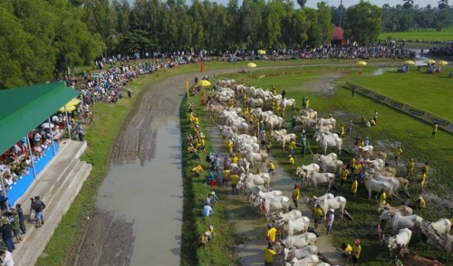 Ox racing festival stirs an air of excitement in An Giang