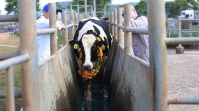 TH Group imports more dairy cows from US