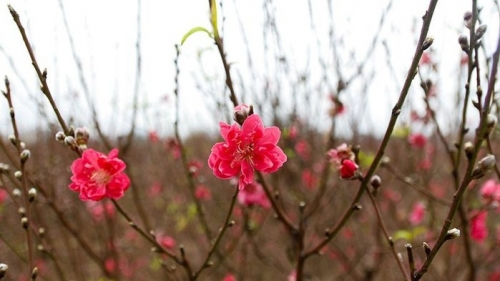 Nhat Tan peach blossoms boast beauty ahead of Tet