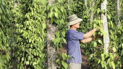EVFTA offers opportunity for Vietnamese pepper to maintain its world's no. 1 position