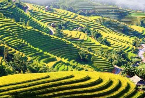 Hoang Su Phi blanketed by yellow terraced fields