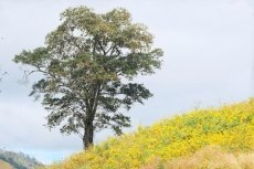 Enchanting wild sunflowers shine on Chu Dang Ya extinct volcano