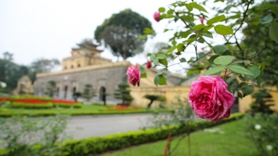 Roses in full bloom at Thang Long Imperial Citadel