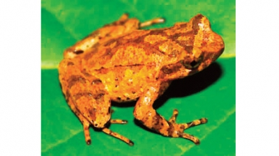 New species of toad discovered in Cao Bang