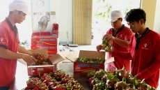 Vietnam's red flesh dragon fruits favoured at Australian market