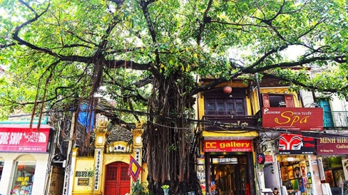 Banyan trees beat Hanoi's summer heat