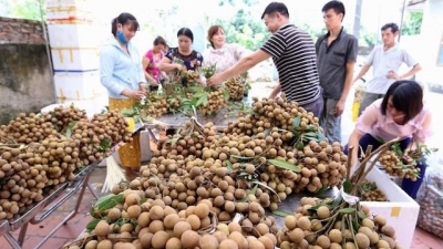 Promoting export of longan to Chinese market