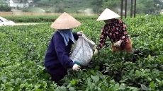 Promoting safe tea production models