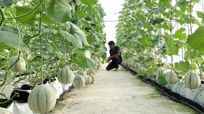 Da Nang and Dutch businesses boost hi-tech agriculture cooperation