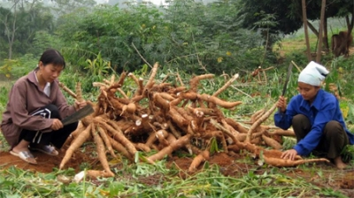 Cassava exports rise sharply in four months