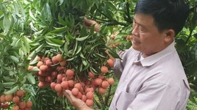 Japan authorises Vietnamese agency to supervise lychee exports