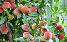 Early harvest season of peaches in Bac Ha Plateau