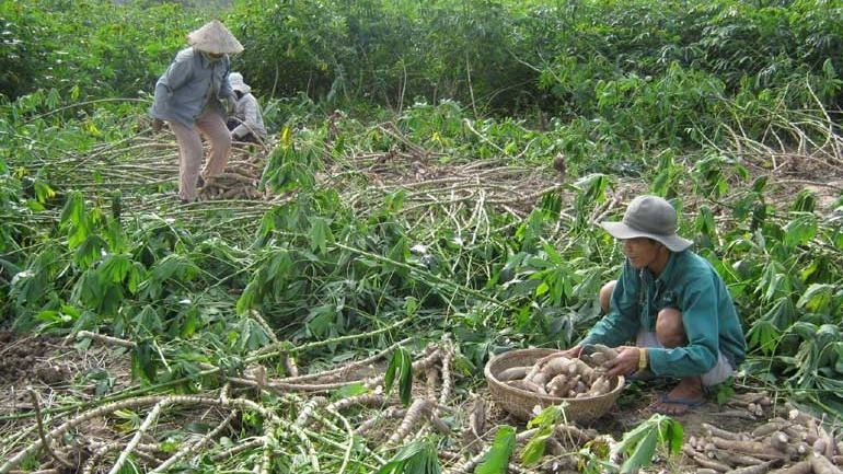 Japan supports Vietnam to manage cassava pests and diseases