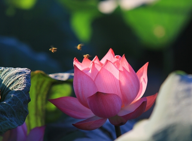 Lotus flowers in full bloom in hanoi nhan dan online the lotus flower is one of 12 aquatic species that has been planted for over 2000 years in vietnam mightylinksfo